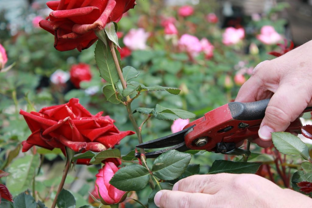 garden maintenance deadheading